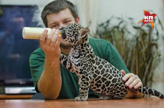 Самарский зоопарк показал детеныша ягуара