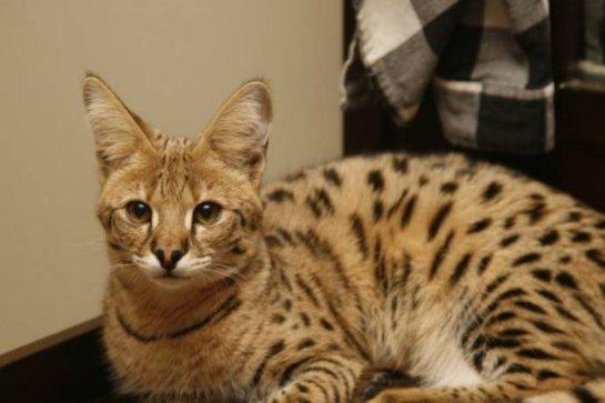 В Челябинск привезли дорогую кошку саванну