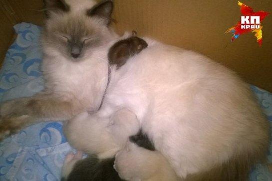 Кошка стала мамой для крысенка