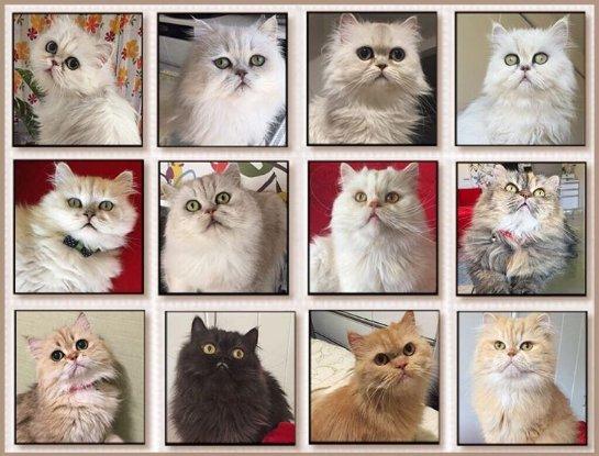 История про жительницу Японии, которая держит в квартире 12 кошек породы персидская шиншилла