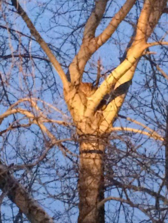 В Свердловской области на дереве обнаружили рысь