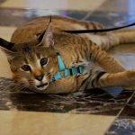 Деми Мур- самая дорогая кошка породы каракет