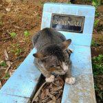 В Индонезии верная кошка год прибегает на могилу своей хозяйки