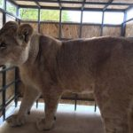 Львицу Лолу привезли в сафари-парк «Тайган»