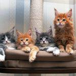 Мейн кун – котята из питомника с добрым характером