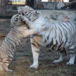 Смотритель зоопарка погиб в вольере с белыми тиграми