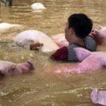 Тысячи свиней пытались вплавь спастись от наводнения во Вьетнаме