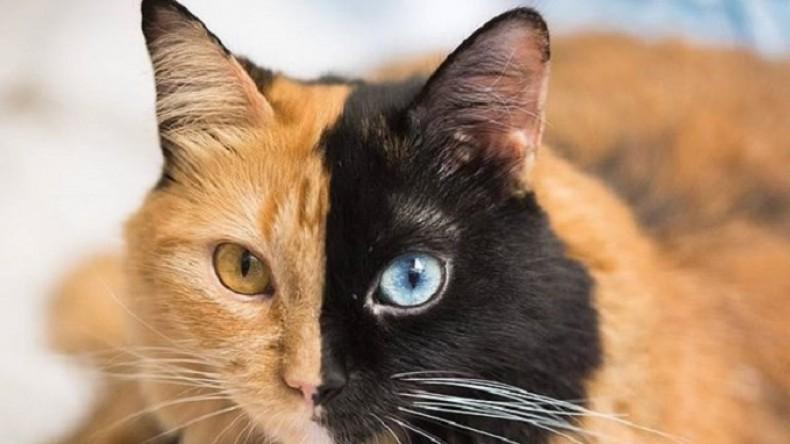 «Двуличная» кошка химера покоряет соцсети
