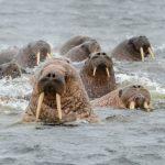 Арктика отмечает Международный день моржа