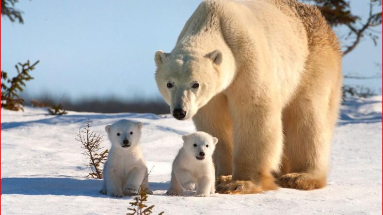 WWF оценил выполнение плана по сохранению белых медведей