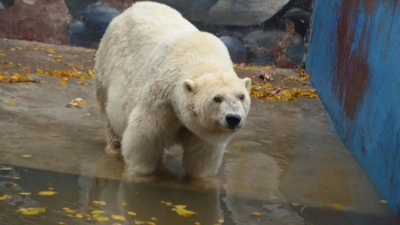 В Пермском зоопарке умерла старейшая в России белая медведица