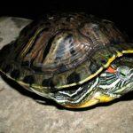 Больше информации о красноухой черепахе