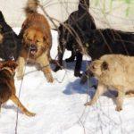 В Подмосковье бродячие собаки загрызли мужчину и искалечили женщину