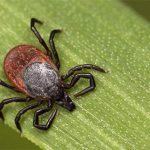 Как не заразиться инфекциями, передающимися с укусом клещей