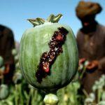 В прошлом году производство опиума в мире увеличилось на 65 процентов