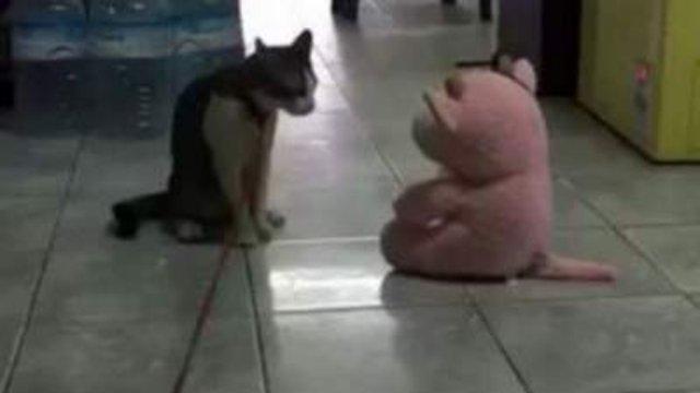 Суровый кот насмешил Сеть, нокаутировав плюшевую игрушку