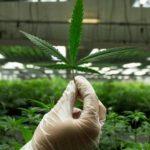 В Великобритании легализована марихуана